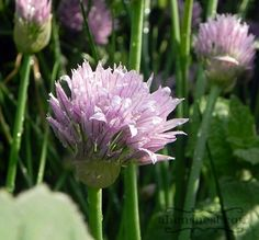 10 ways to eat chive blossoms Grow Chives, The Constant Gardener, Chive Blossom, Herb Recipes, Spring Is Here, Edible Flowers, Vegetable Dishes, Recipe Ideas, Food Ideas