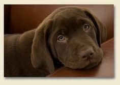 Brown lab..looks like our puppy! So sweet!
