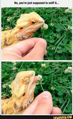 Chameleons Will Hold Onto Anything You Give Them Pics Animal - Someone gave their chameleon a miniature sword to hold and now everyones joining in