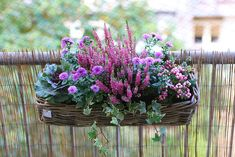 Mes Plantes // Medinilla Magnifica - Mango and Salt Balcony Flower Box, Window Box Flowers, Flower Boxes, Container Flowers, Container Plants, Container Gardening, Boxwood Garden, Winter Planter, Backyard Plants