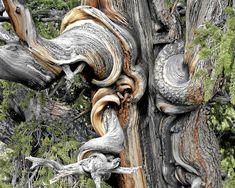 bristlecone pine trees - Google Search