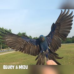 Affinity Flight: Bluey coming back to land after a brisk flight.  #hyacinthmacaw #flyingparrots #parrots #macaws #loro #guacamaya #papagaio #papegøje #papegaai #papagei #pappagalli #papuga #Попугаи #papağan #鸚鵡  #affinityflight #parrot #macaw #guacamayo #arara #perroquet #papagaj #pappagallo #papegøye #Попугай #papegoja #ببغاء #オウム#앵무새 #طوطی