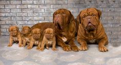 I know it's not a bully but how beautiful are these French mastiffs?