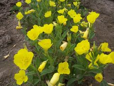 """Oenothera-pilosella   Prairie Sundrops, or Meadow Sundrops   Full sun, part shade   18-24""""   Yellow flower, blooms May-June   The preference is full sun, moist conditions, and a loamy soil with high organic content. This plant develops quickly during the spring and flowers readily. Later in the year, it becomes dormant and less attractive in appearance, but can tolerate some drought. This plant is easy to grow if it is not too dry, and can spread aggressively.   This lovely plant should be…"""