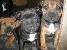 ENGLISH Staffordshire Bull Terrier Purebred Puppies