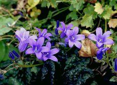 Колокольчик Портеншлага (Campanula portenschlagiana) Gardening, Plants, Garten, Lawn And Garden, Planters, Garden, Plant, Planting, Square Foot Gardening