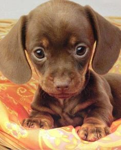 the sweetest little doxie face ever!..M.T. Not a big fan of this breed, but this IS the cutest little face! As a kid we had a litter of 6 puppies, from a mom who was part wire-fox terrier/part poodle and she was impregnated by our shih tzu AND a neighborhood dachshund, it was the cutest litter.One was a longhair dach. we called spider monkey and was the cutest thing ever,was very upset when we had to give it away to my sisters horrible boyfriend and he didn't keep it.
