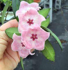 Hooked on Hoya cubit: Hoya talk forum: Blooming February Garden Plants, Indoor Plants, House Plants, Exotic Plants, Tropical Plants, Amazing Flowers, Beautiful Flowers, Hindu Rope Plant, Wax Flowers