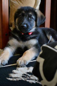 We got a dog! Her name is Wheelie. #germanshepard #puppy
