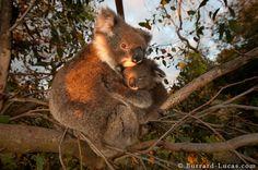 A mother koala hugging her baby on Kangaroo Island in Australia. Australian Party, Baby Animals, Cute Animals, What Is Happiness, Friends Phone Case, Paisley Flower, Samsung Galaxy Mini, Kangaroo Island, Young Animal