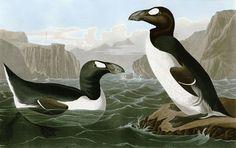 Great Auk by John James Audubon