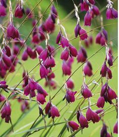 Dierama pulcherrimum blackbird