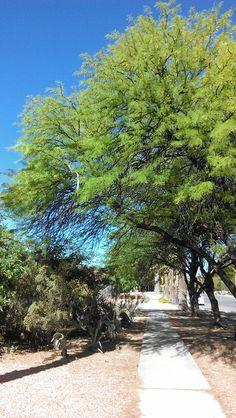 Beautiful mesquite tree.