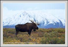 pictures of moose | Moose, fall colors and tundra, Denali National Park, Alaska Bull moose ...