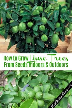How to Grow Lime Trees - Garden İdeen Fruit Tree Garden, Garden Trees, Garden Plants, Shade Garden, Dwarf Fruit Trees, Garden Art, Garden Design, Regrow Vegetables, Container Gardening Vegetables