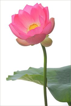 ✯ Lotus Flower .. by Bahman Farzad✯