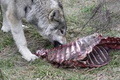 Wolf Pack Hunting Real Life | That's how real life rolls!