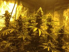 You need to make sure that the room has enough ventilation. Proper airflow equalizes the room temperature, thereby creating conducive atmosphere for Marijuana to grow. You may want to consider putting up a separate exhaust and incoming air vents. This ensures proper airflow to the room.