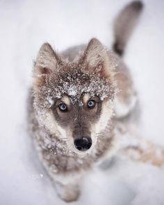 "souhailbog: "" The raccoon eye phase By Goldilocksandthewolf "" - Wolf - Perros Beautiful Wolves, Beautiful Dogs, Animals Beautiful, Wolf Photos, Wolf Pictures, Animals And Pets, Cute Animals, Wolf Hybrid, Wolf Husky"