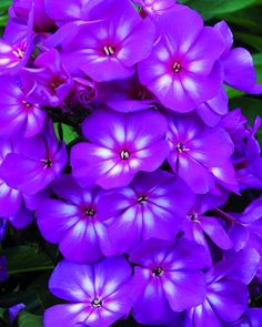 Phlox Grape Lolli pop Clusters of deliciously scented flowers begin to bloom in early summer filling the garden with a sweet fragrance until fall. Available in 4 candy coated colors, the Candy Store™ series