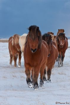 These icelandic horses were resting close to each other, suddenly one started to come towards me and the others together with him. They are beautiful and friendly animals.