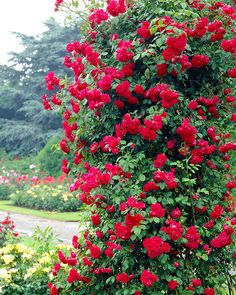 The Henry Kelsey rose is a cold hardy climbing rose bearing slightly fragrant, semi double red flowers in recurring flushes from spring to frost. Henry Kelsey CL rose bush is hardy into zone Side Garden, Green Garden, Garden Plants, Red Climbing Roses, Climbing Vines, Most Beautiful Gardens, Beautiful Flowers, Kelsey Rose, Rose Foto