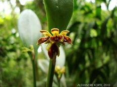 Belo exemplar da orquídea Acianthera aphthosa, que no entanto é considerada a flor de odor mais desagradável no Brasil. Devido ao mau odor que as flore exalam, uma de suas sinonímias é justamente Pleurothallis foetens (= Pleurothallis que cheira mal, Pleurothallis fétida). Trata-se de característica da planta, com o evidente propósito de atrair polinizadores.  Fotografia: Alexandre Korte.