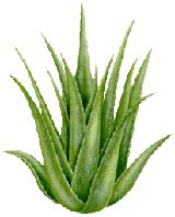 Aloe vera especially its juice has been used for thousands of years to heal skin problems, constipation and many other diseases. However, is aloe vera good for polycystic kidney disease? Aloe vera and kidney disease The aloe vera plant main Home Remedies For Rosacea, Home Remedies For Fever, Back Acne Remedies, Herbal Remedies, Natural Remedies, Cold Remedies, Chinese Herbs, Medicinal Herbs, Aloe Vera Gel