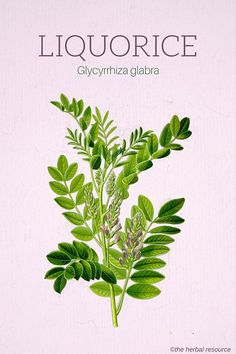 Liquorice (Glycyrrhiza glabra)and board https://www.pinterest.com/rowdyartist/garden-medicinal-plants/