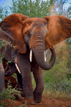 Elephant taking a dust shower Elephant Walk, Elephant Love, Baby Elephants, Elephant Photography, Animal Photography, Wildlife Photography, African Elephant, African Animals, Elephant Afrique