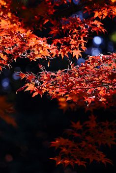 Autumn in Tokyo / a Japanese maple on Flickr.