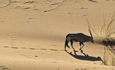 Namib desert - oryx