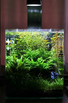 Betta Fish First Attempt - Planted Nano Tank - Page 6 - The Planted Tank Forum Parents Supporting Ad Aquarium Aquascape, Betta Aquarium, Planted Aquarium, Aquascaping, Betta Fish Tank, Nature Aquarium, Planted Betta Tank, Cool Fish Tanks, Tropical Fish Tanks