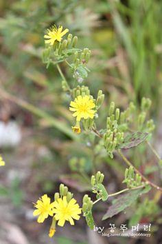 * 고들빼기 * Youngia sonchifolia...