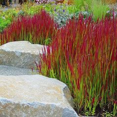 Imperata cylindrica 'Red Baron' - Herbe sanglante panachée - Roseau flamboyant Plus