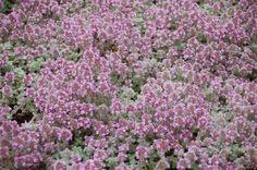 thymus pseudolanuginosus 2007_05_31_75