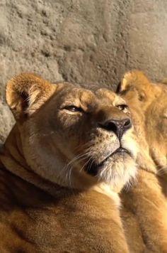Rare Animals, Cute Baby Animals, Wild Animals, Tiger Cubs, Tiger Tiger, Bear Cubs, Bengal Tiger, Big Cat Family, Lion Family