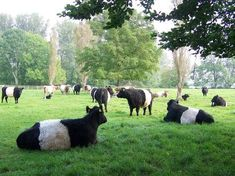 Belted Galloway herd, Oreo cows Fearrington House, North Carolina, near Chapel Hill Rare Animals, Animals And Pets, Strange Animals, Galloway Cattle, Breeds Of Cows, Belted Cow, Cowboy Ranch, Pet Rats, Ranch Life