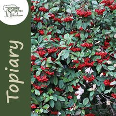Buy Cotoneaster x watereri (Cotoneaster) online from Jacksons Nurseries Buxus Sempervirens, Taxus Baccata, Front Fence, Plantation, Topiary, Evergreen, Shrubs, Perennials, Berries