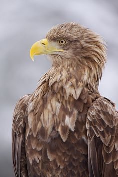 Promise. Last one tonight. Who could NOT pin that profile? White-tailed Eagle.