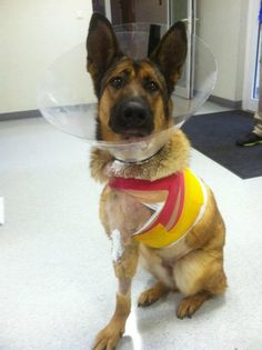 Senior Airman Brian Kolfage  Here's Lucca when she was a patient in Germany. Her front leg was amputated after an IED attack. She's now recovered and living the best life.