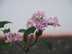 山紫陽花「乙女の舞」