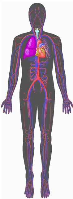 Human Anatomy Online - Cardiovascular System from Inner Body