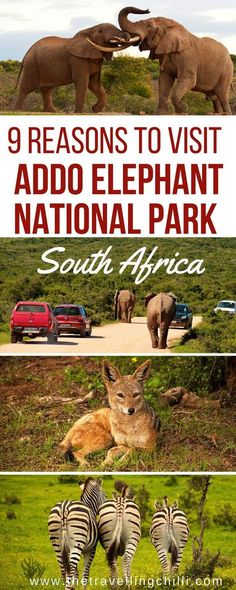 Best reasons to visit Addo Elephant park in South Africa. Addo park is close to Port Elizabeth as part of the Garden Route in South Africa. Addo national park is the best place to see the African elephant and of course many other wildlife in South Africa Elephant Park, Wild Elephant, Africa Destinations, Travel Destinations, Travel Tips, Travel Advice, Travel Essentials, Addo National Park, Uganda