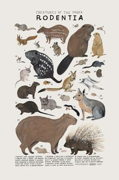 Animal Drawings Creatures of the order Rodentia, Art print of an illustration by Kelsey Oseid. This poster chronicles 30 mammals from the taxonomic order Rodentia. Printed in Minneapolis on acid free 80 Animal Drawings, Art Drawings, Drawing Sketches, Animals And Pets, Cute Animals, Art Et Illustration, Animal Illustrations, Illustrations Posters, Animal Posters