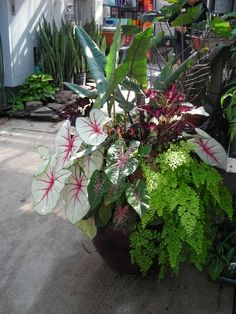 Container garden showing coleus, maidenhair fern, caladium, & alocasia (shade)