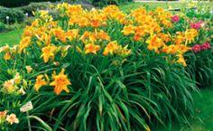 Taglilien im Park – mitVersteigerung