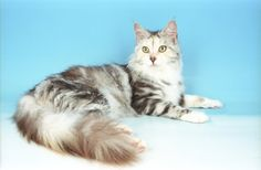 Maine Coon - Look at that gloriously luxurious tail! Woowzer!