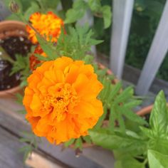 Marigolds in bloom! I am so inspired by this years flowers that I've decided to try my hand at Flower Essences. Anyone have any experience or wisdom to share? #questions #myherbalstudies #marigold #floweressences #herbalism #flowers #plantlife #plantmedicine #august #bestoftheday