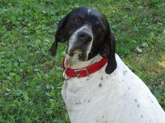english pointer dog photo | Adopt Female English Pointer Dog Flounder | Lifeline Dog Rescue